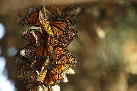 image: pollinator habitat destruction reduced butterflies 80%.