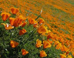 image: california native plants