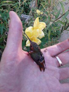 image: about hummingbird