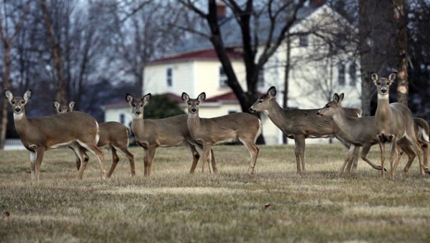 image: Deer Overpopulation