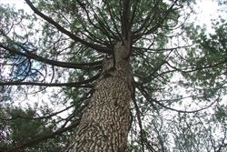 image: tree removal service for canary island pine